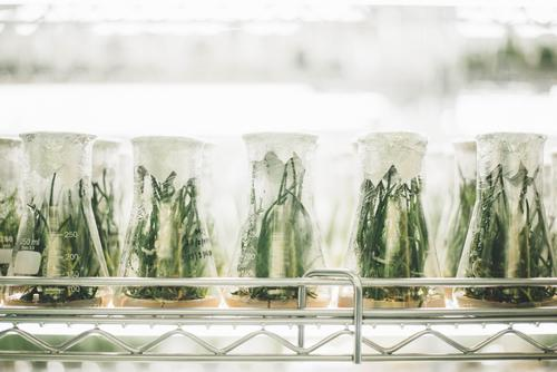 rows of beakers containing plants