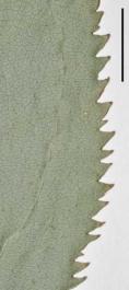 Solidago argutae leaf margin 9485 WAT