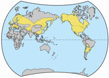 Solidago, native world wide distribution