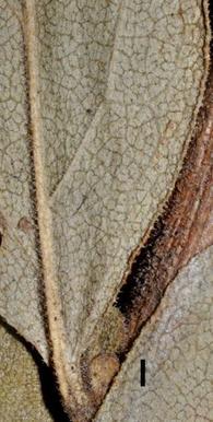 Solidago petiolaris Radford 30382 NC