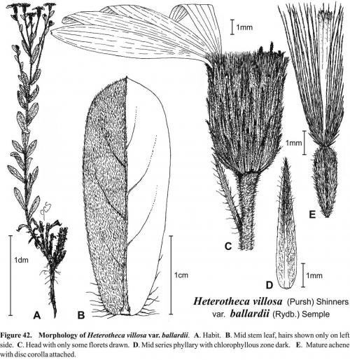 Heterotheca villosa var ballardii Fig 42 Semple 1996