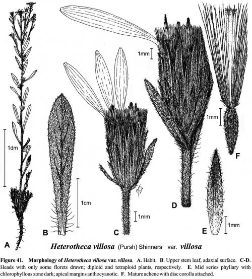 Heterotheca villosa var villosa Fig 41 Semple 1996