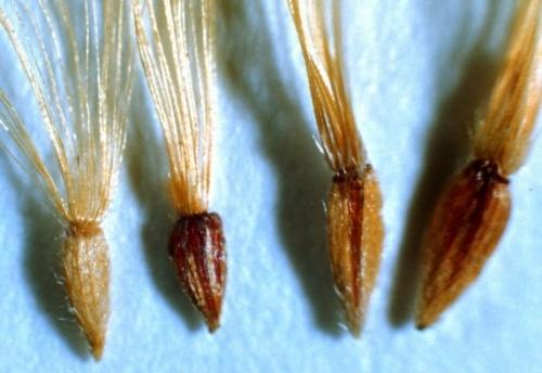 Chrysopsis achenes