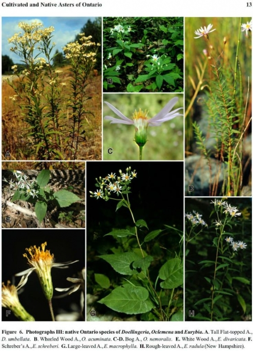 a figure from Cultivated and native asters of Ontario. A. Tall flat-topped A., d.umbellata. B. Whorled Wood A., O. acuminata. C-D. Bog A., O. nemoralis. E. White wood A., E. divaricata. F. Schreber's A., E. schreberi. G. Large-leaved A., E. macrophylla. H. Rough-leaved A., E. radula (New Hampshire)