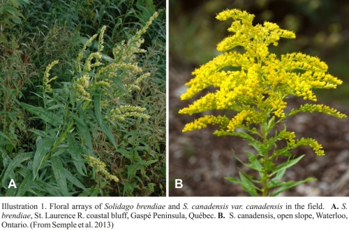 Floral arrays of Solidago brendiae and S. canadensis (Semple et al 2013)