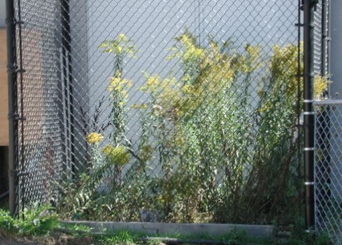 Goldenrods in a cage