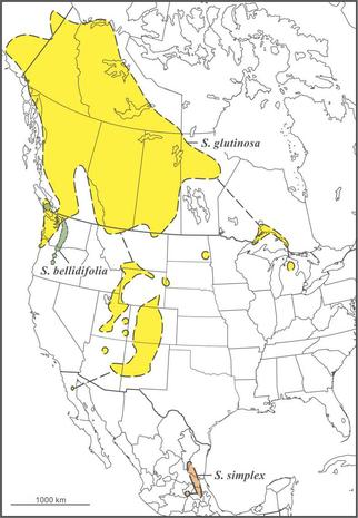 Solidago glutinosa bellidifolia simplex ranges draft JCS