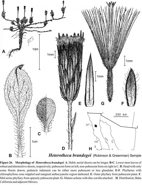 Heterotheca brandegei Fig 26 Semple 1996
