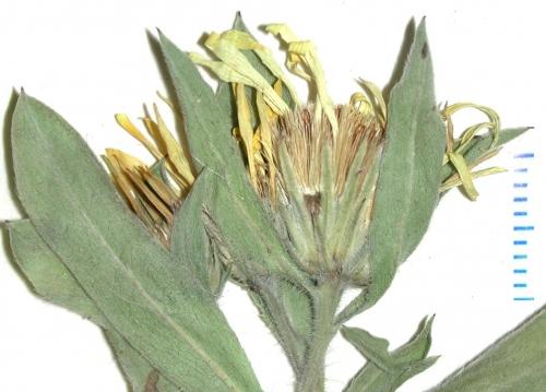 Heterotheca fulcrata var. amplifolia Hogan WAT