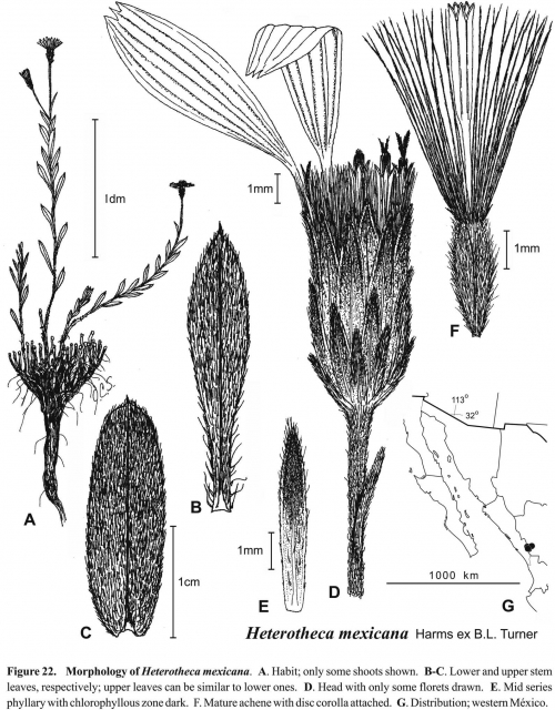 Heterotheca mexicana Fig 22 Semple 1996
