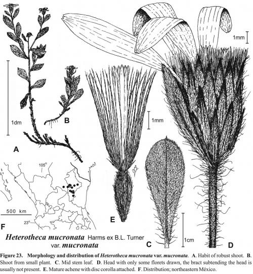 Heterotheca mucronata var. mucronata Fig 23 Semple 1996