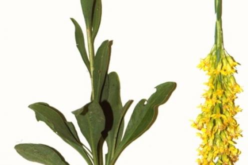 Solidago virgata, basal leaves and inflorescence, South Carolina