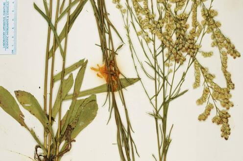 Habit (herbarium sheet), Florida