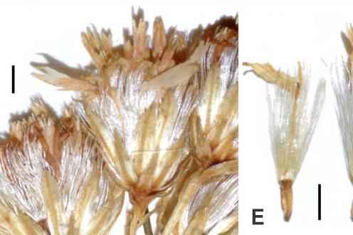 Details of holotype of Solidago maya Fig 3 Semple 2016