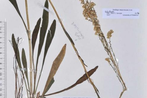 Solidago maya, holotype, Breedlove & Thorne 21282 (MO), Chiapas, Mexico