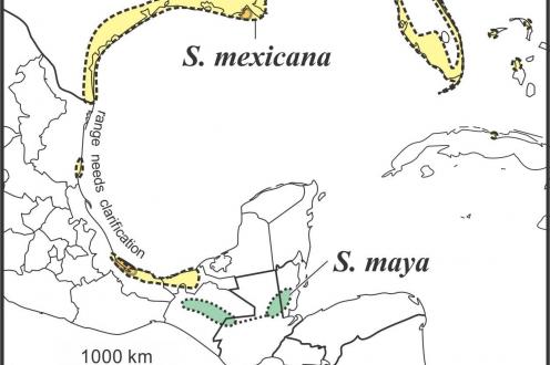 Solidago maya range draft JCS