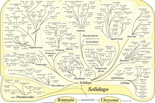 Solidago Phylogeny Intuitive JCS 2016 revised