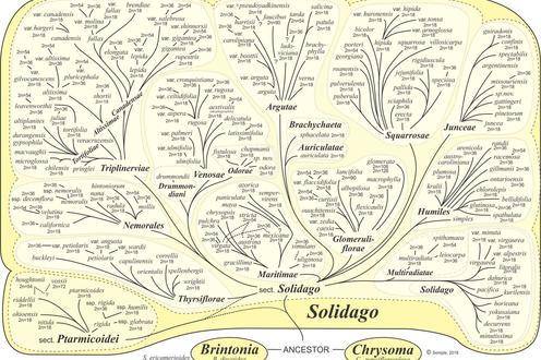 Solidago Phylogeny Intuitive JCS 2018