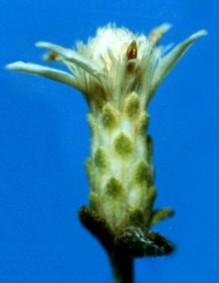 Sericocarpus Nees