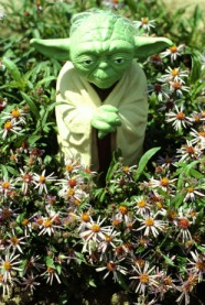 Yoda with Eurybia