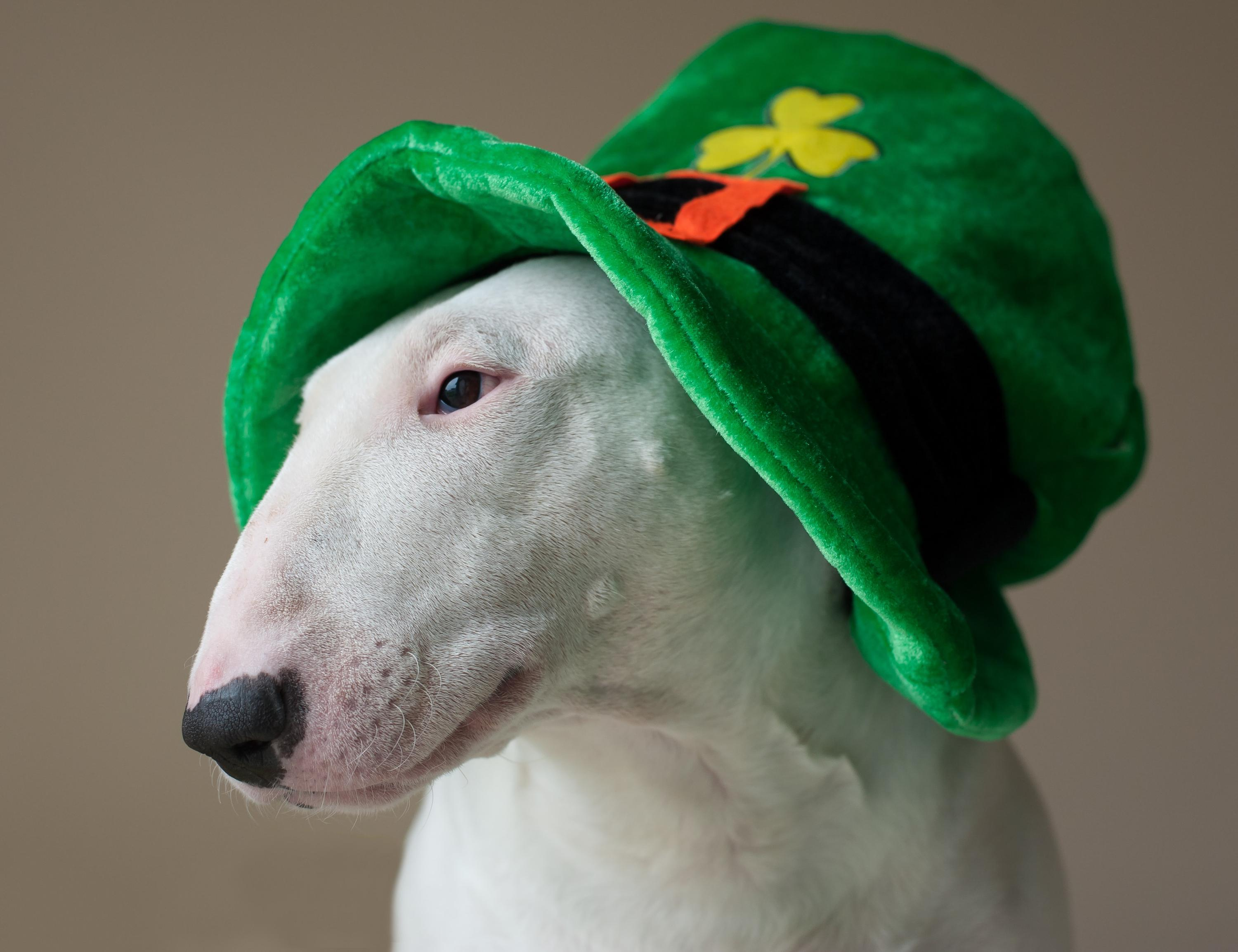 dog with St. Patrick's hat