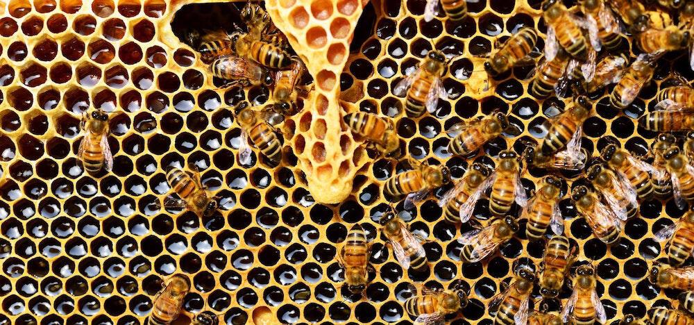 Closeup of bees making honey.