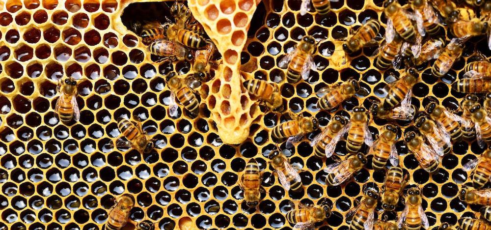 Close up of bees producing honey.