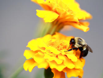 picture of bumble bee on flower