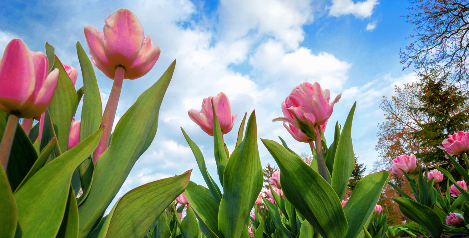 photo of pink tulips