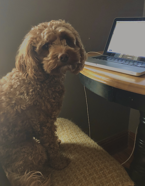 Stoneleigh the Cockapoo sits on a chair in front of a laptop.