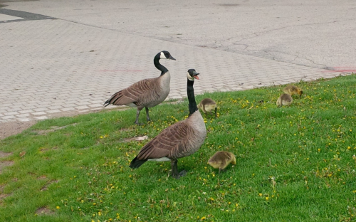 A gaggle of geese on campus.