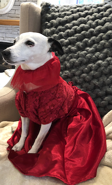 Skip the dog in a flowing red dress.