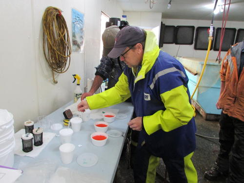 Dr. Dixon fertilizing salmon eggs