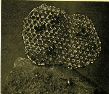 photo of a honeycomb with hornets nearby