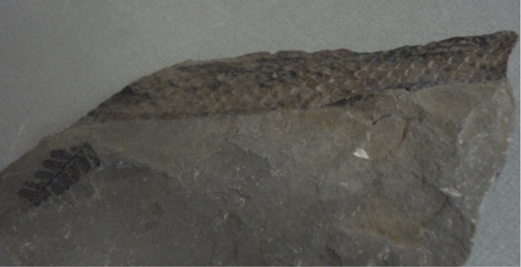 Lepidodendron Fossils Earth Sciences Museum University
