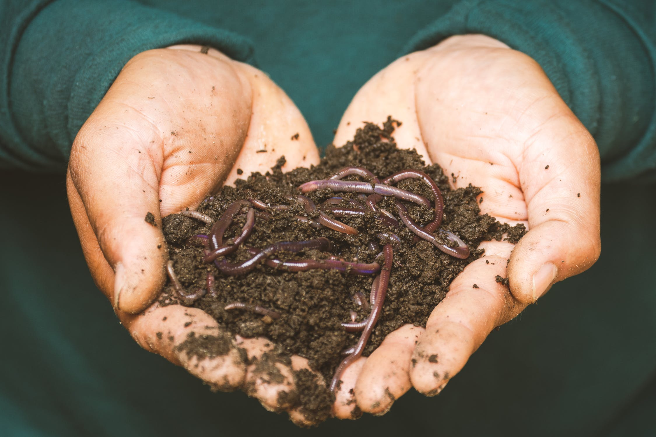 Hand holding worms in dirt