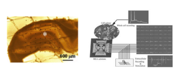 rat brain slice deposited on multielectrode array