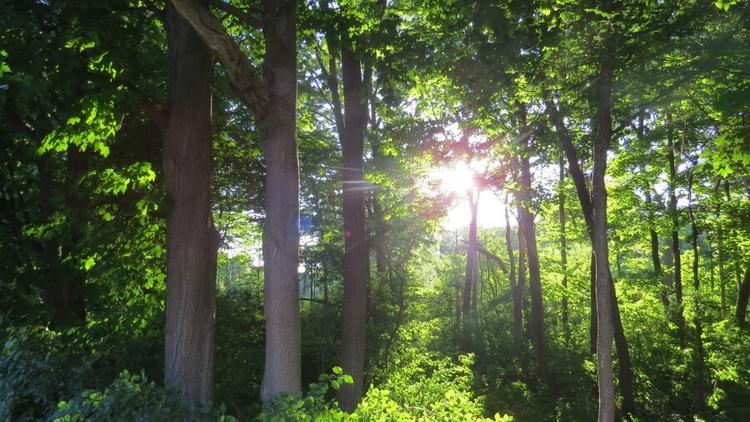Sun shining through a green canopy of trees in a forest