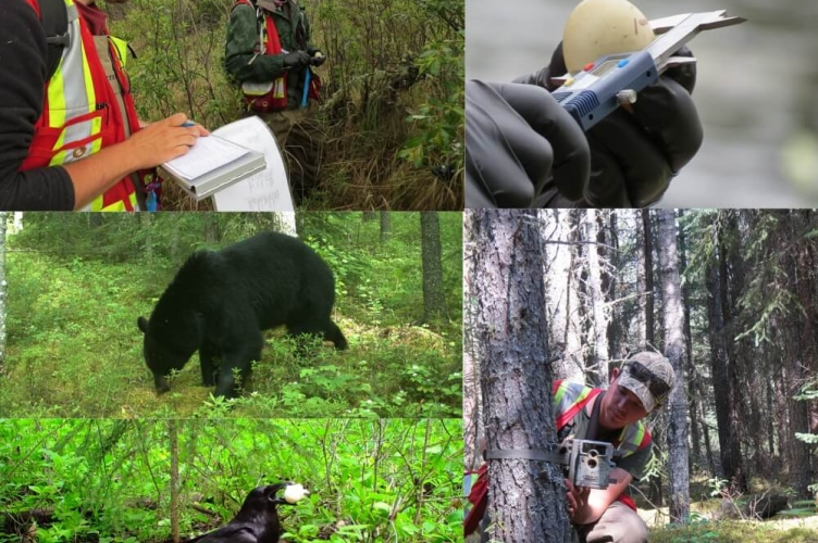 Collage of fieldwork images includes: a black bear, a crow, an egg and measuring a tree