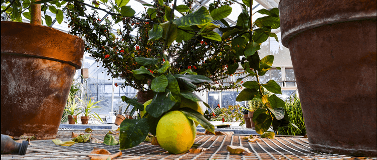 Plants and lemon tree in a greenhouse.