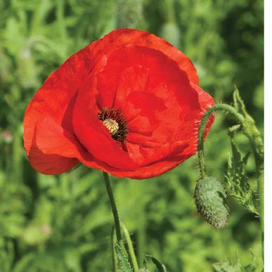 A red poppy.