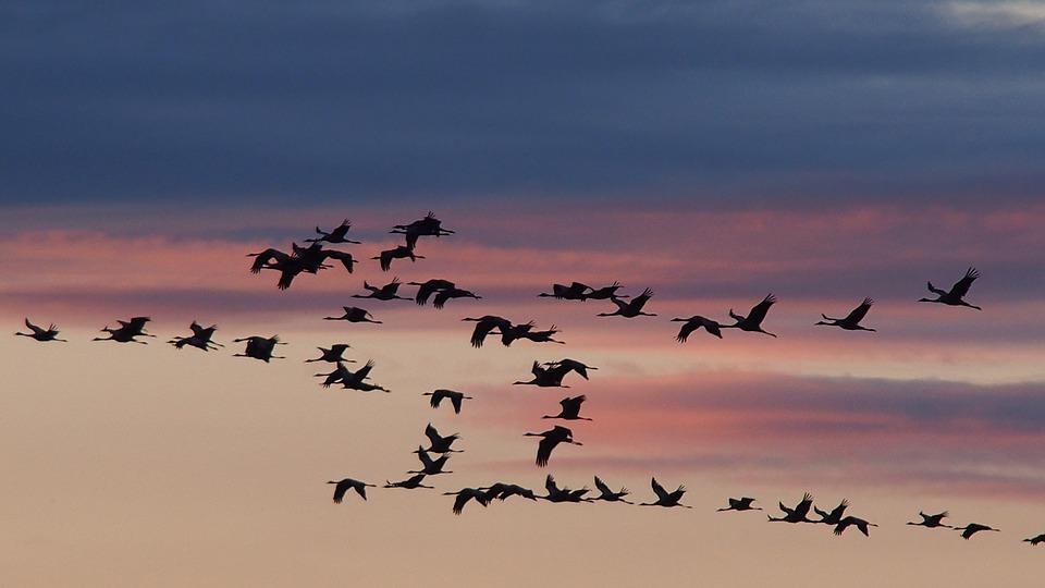 Cranes migrating