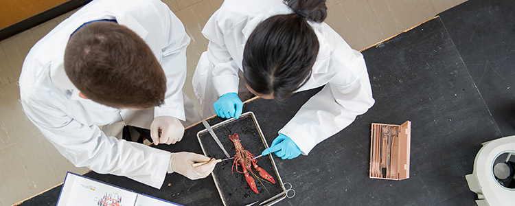 Two students in the Biology program at University of Waterloo dissecting a crayfish