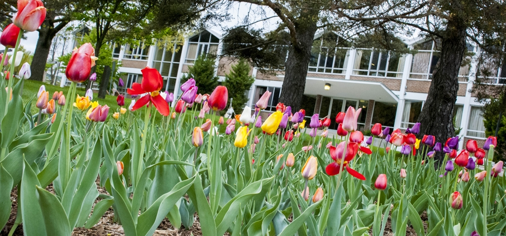 tulips with Grebel in the background