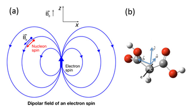 The magnetic dipole field produced by an electron spin, and a malonic acid molecule