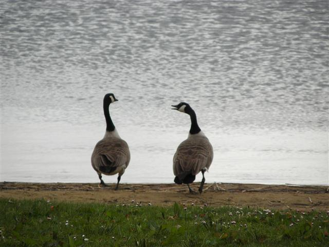 2 geese chatting on beach