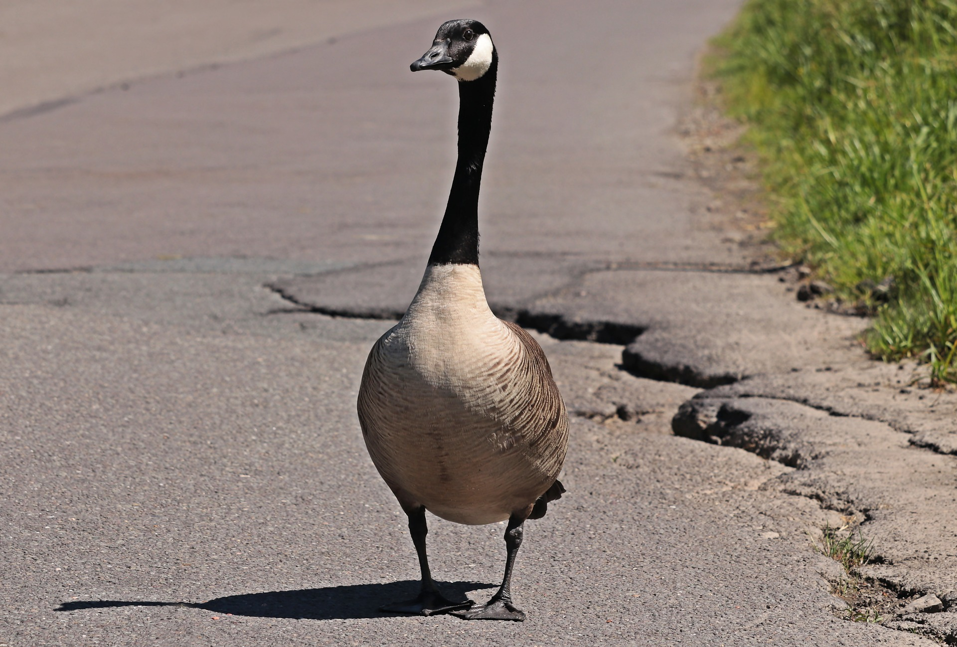 goose standing on pavement