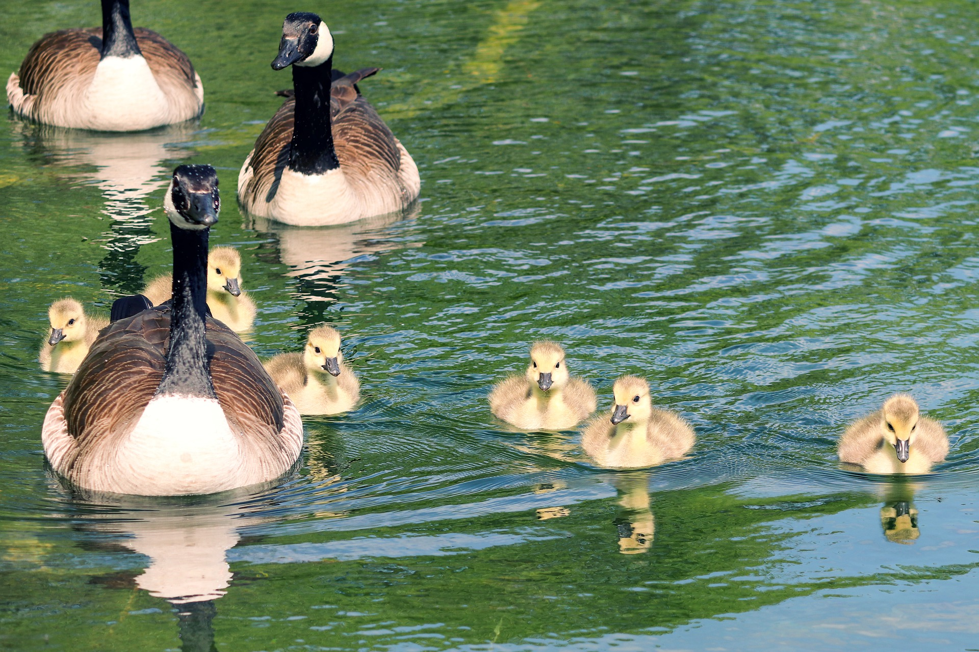 geese swimming with chicks