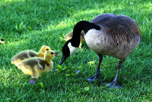goose with babies