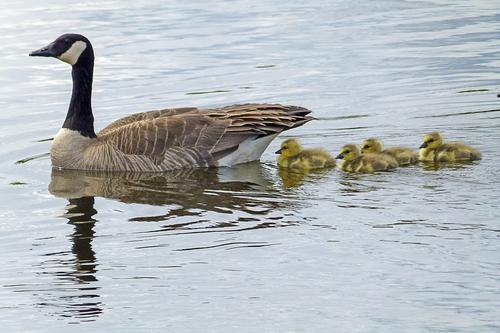 goose swimming with babies